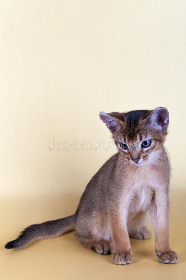 An little male abyssinian ruddy cat, kitty. On a yellow background royalty free stock photos