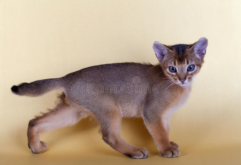 An little male abyssinian ruddy cat, kitty. On a yellow background stock images