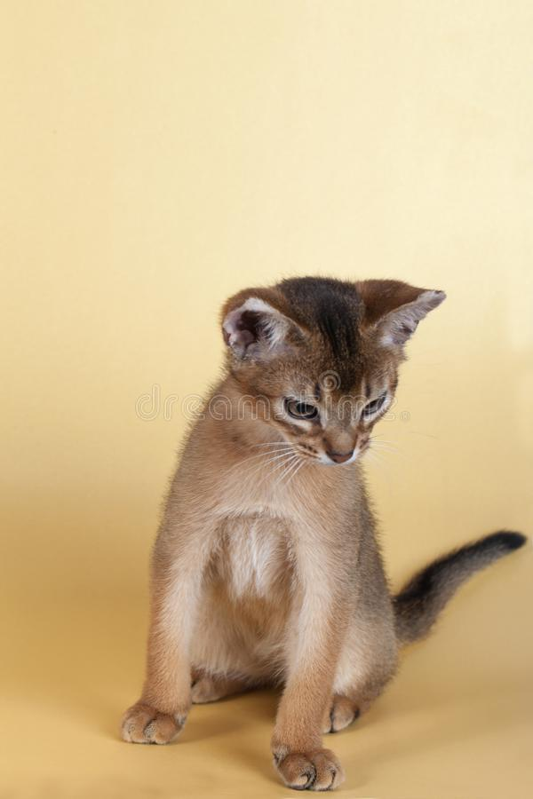 An little male abyssinian ruddy cat, kitty. On a yellow background stock photo