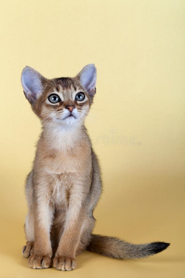 An little male abyssinian ruddy cat, kitty. On a yellow background stock photography