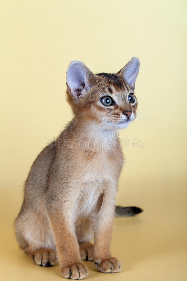 An little male abyssinian ruddy cat, kitty. On a yellow background royalty free stock images