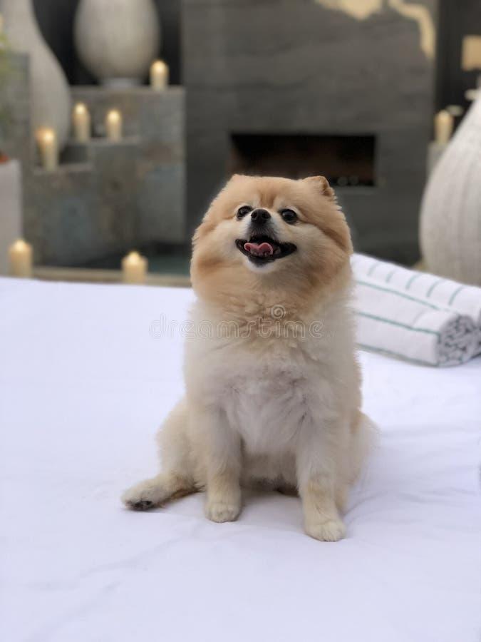 Little male Pomeranian Pet Dog stock photos