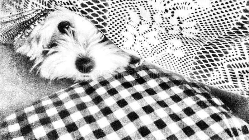 Little maltese dog stock photo