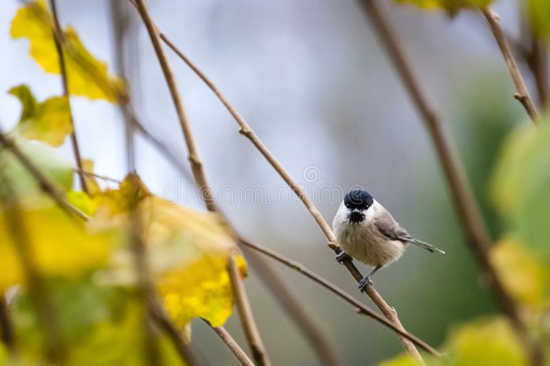 Little marsh tit / Poecile palustris. Sitting on a branch in aun / fall royalty free stock photos