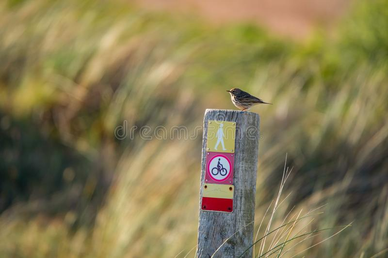 Little meadow pipit sitting on a wooden pile with icons on a colorful blurry background - Texel Netherlands stock photography