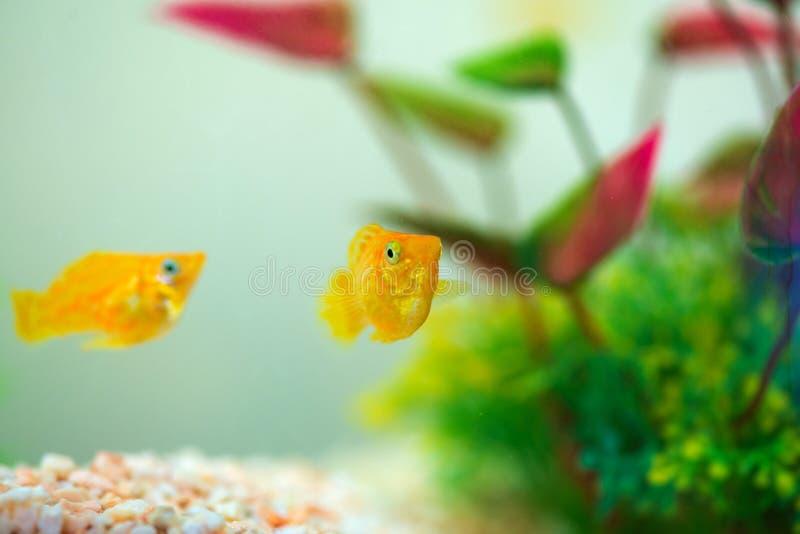 Little Molly fish, Poecilia latipinna in fish tank or aquarium stock photos