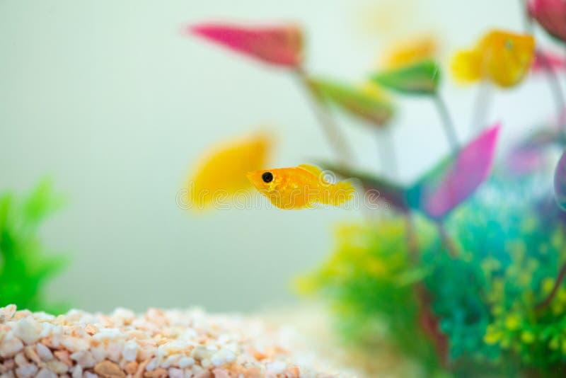 Little Molly fish, Poecilia latipinna in fish tank or aquarium royalty free stock image