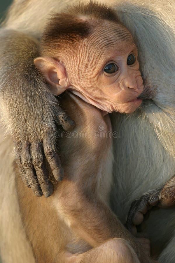 Download Little monkey stock photo. Image of india, child, wild - 12163578