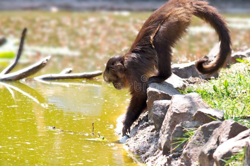 Little monkey royalty free stock images