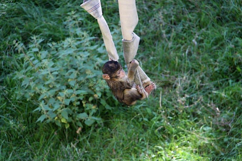 Download Little monkey stock image. Image of animal, wildlife - 26818585