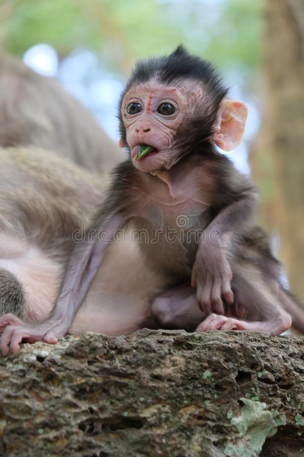 A baby monkey eating in Angkor, Cambodia stock photography