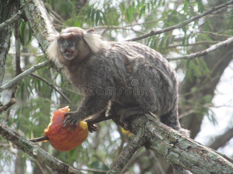 Little monkey eating. Little monkey eats an apple on the tree royalty free stock image