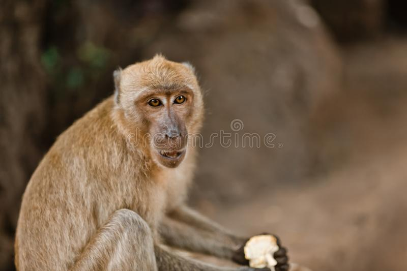 Little monkey eating on a rock in the jungle of Thailand. Monkey holding a treat to the foot royalty free stock photo