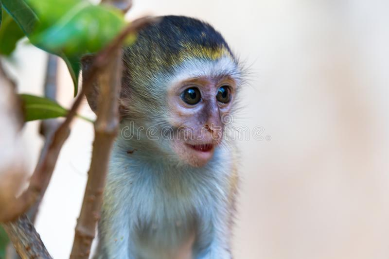A little monkey sits and looks very curious. One little monkey sits and looks very curious royalty free stock images