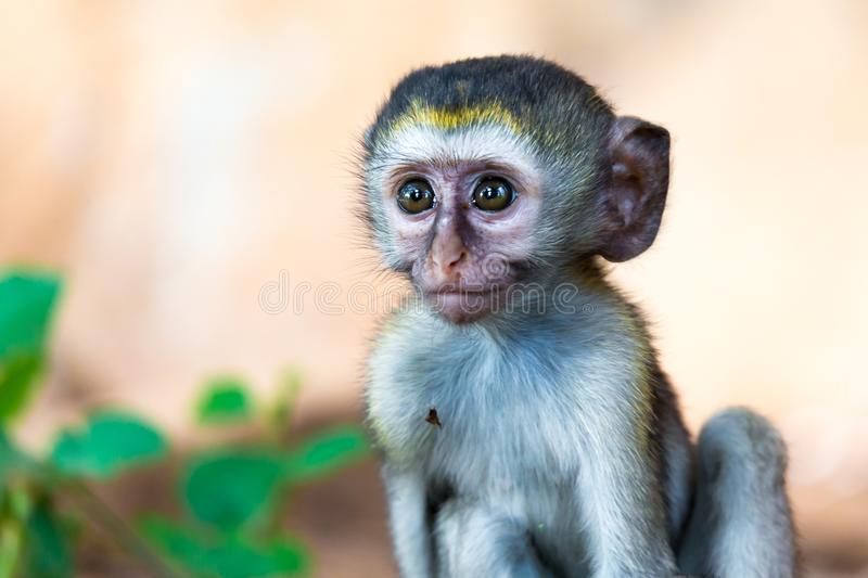 A little monkey sits and looks very curious. One little monkey sits and looks very curious royalty free stock photo