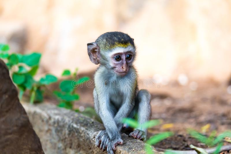 A little monkey sits and looks very curious. One little monkey sits and looks very curious stock images