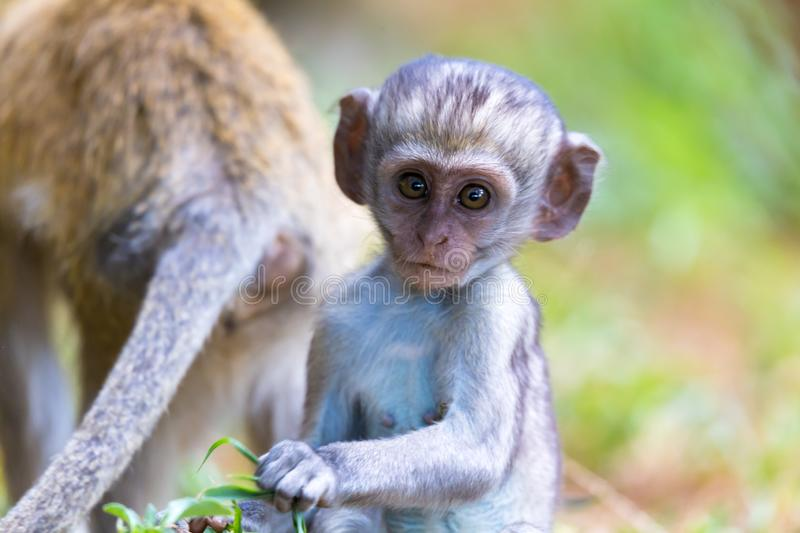 A little monkey sits and looks very curious. One little monkey sits and looks very curious royalty free stock image
