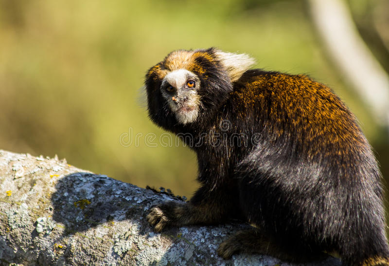 A little monkey from South America. This species of marmoset occurs in part of the south-eastern of Brazil. It is a vulnerable species listed by IUCN stock photo