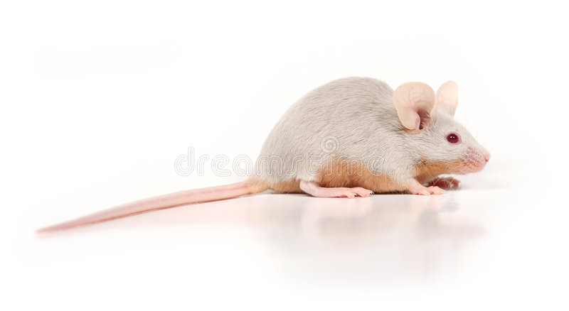 Little mouse royalty free stock photos
