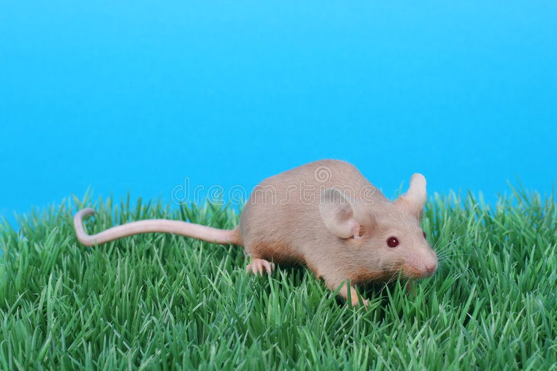 What varieties are my mice? Little-mouse-1923627