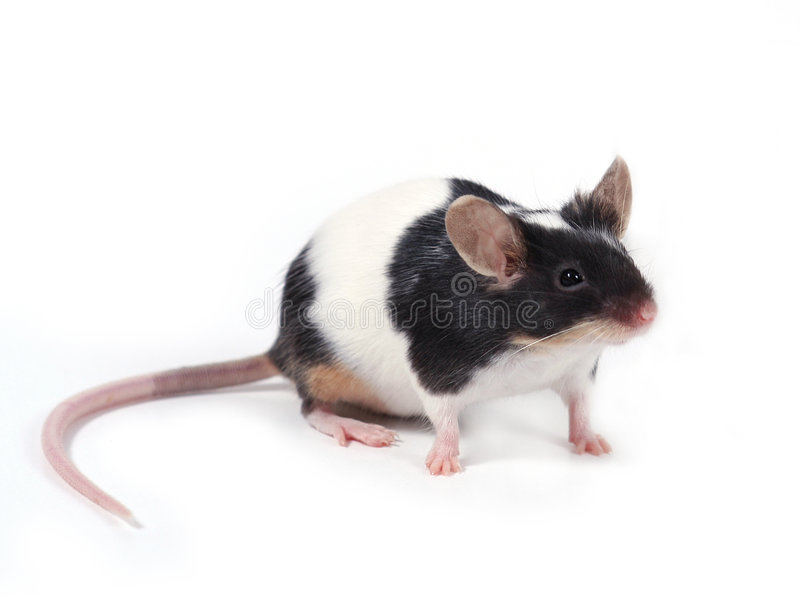 Little mouse stock images