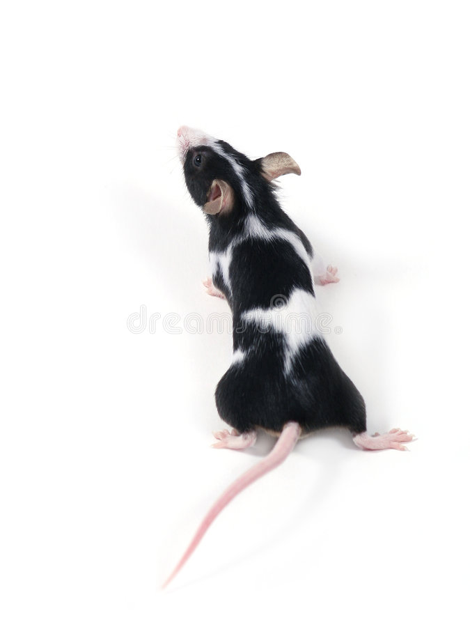 Little mouse royalty free stock images