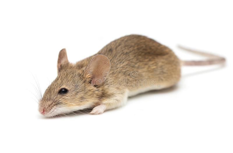 A little mouse isolated on a white background stock photo
