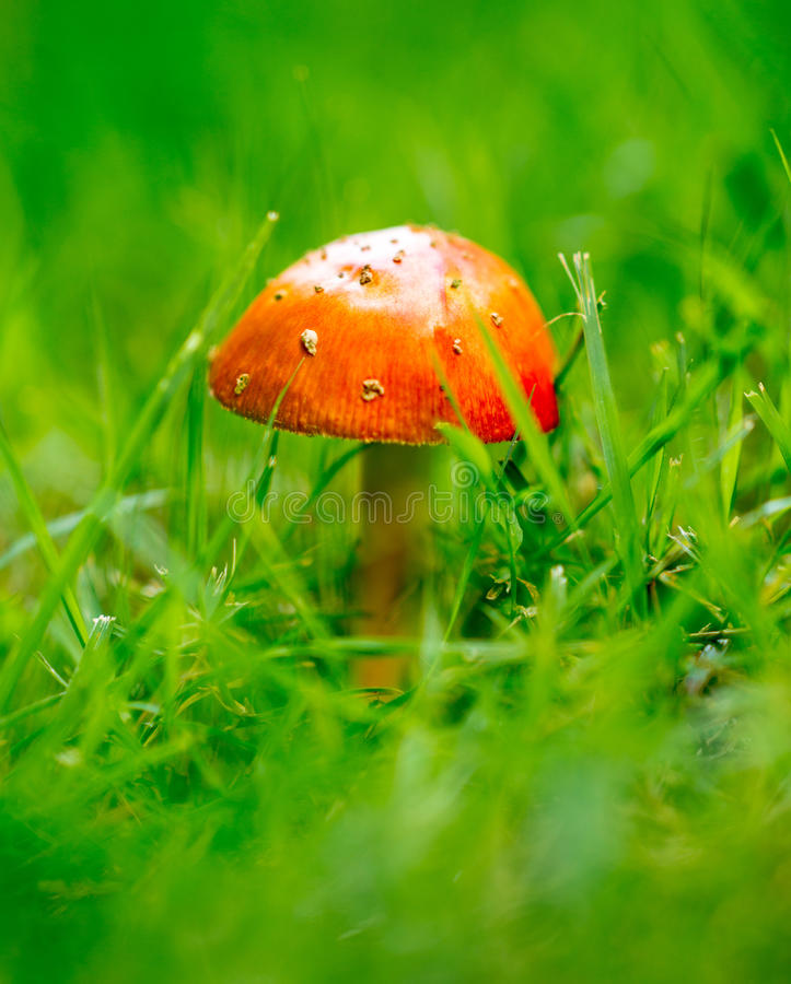 The Little Mushroom Alone in a Field stock photos