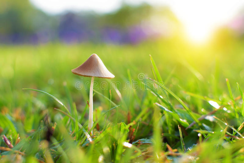 Little Mushroom on Grass royalty free stock photography