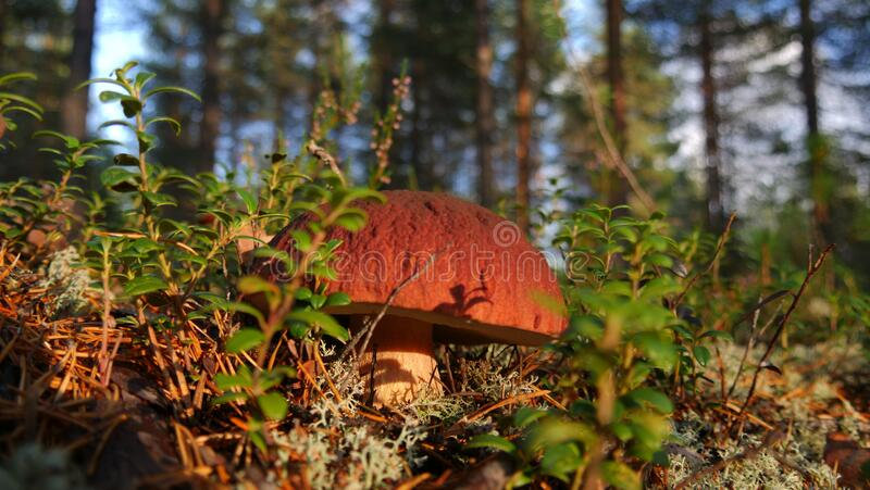 Little mushroom, leccinum, in the Swedish forest stock images