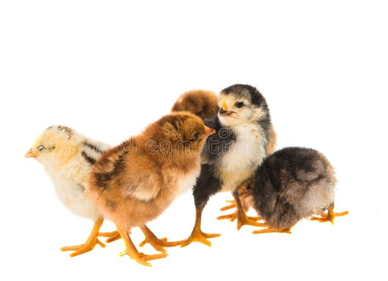 Little newborn baby chicken