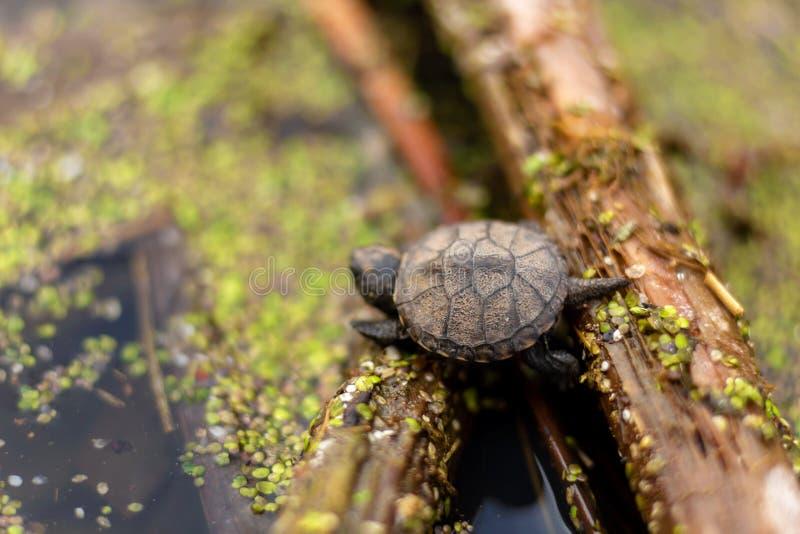 Little newborn turtle swims in the lake stock image