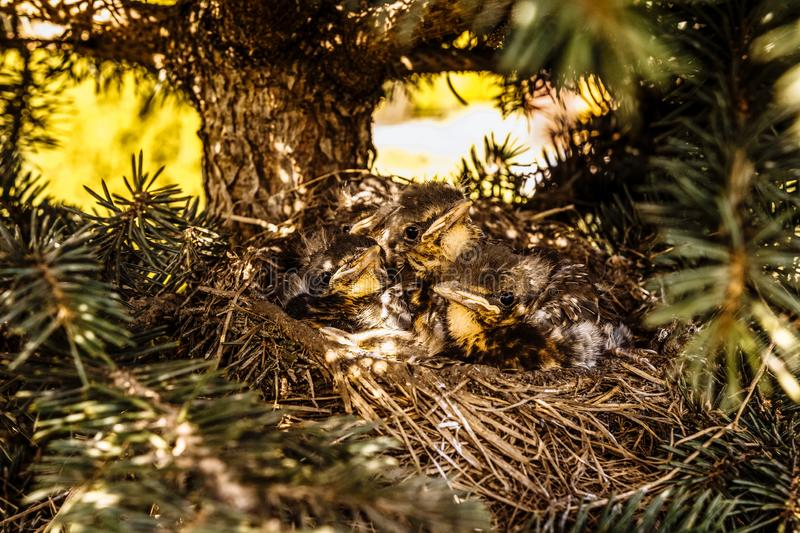 Chicks in the nest waiting for their food royalty free stock photography