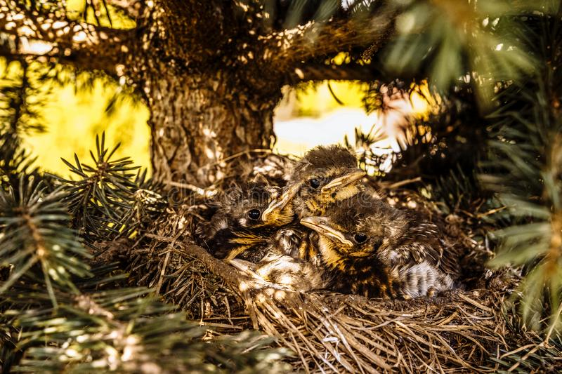 Chicks in the nest waiting for their food royalty free stock images