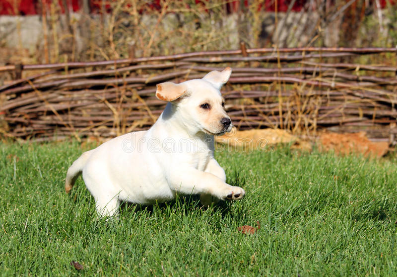 Little nice yellow labrador puppy playing in green grass royalty free stock photos