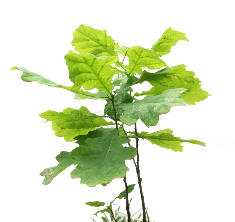 Little oak tree stock photography