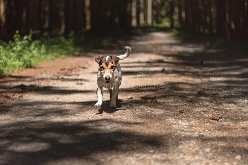 Obedient hunting dog is running in the forest on a path. Little obedient hunting dog is running in the forest on a path royalty free stock images