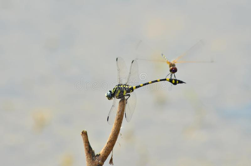 Little one on the tail of big dragonfly. On the stick with nature background stock images