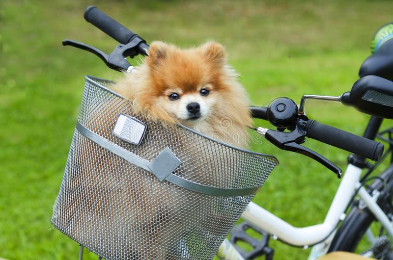 Little orange dog German Pomeranian spitz sits in a basket carrying on a bicycle. cute puppy. stock image