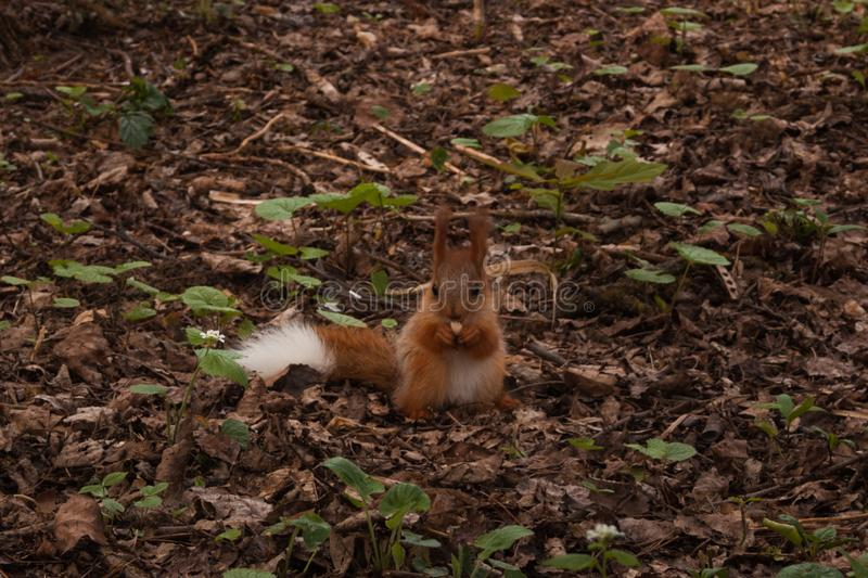 Little orange fluffy squirrel with white tail in the forest eating a nut. little  squirrel. Little orange fluffy squirrel with white tail in the forest eating a stock photo