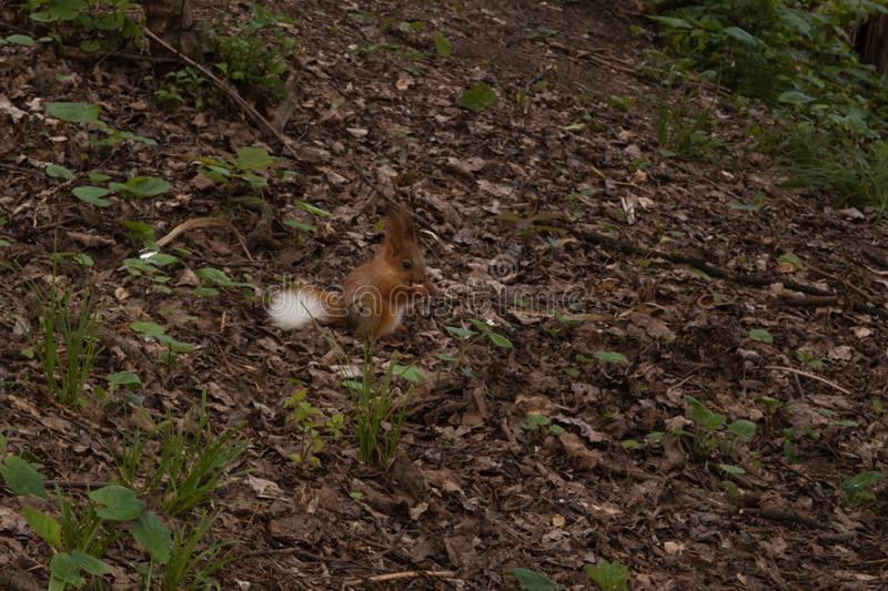 Little orange fluffy squirrel with white tail in the forest looking for nuts.  little  squirrel. Little orange fluffy squirrel with white tail in the forest stock images