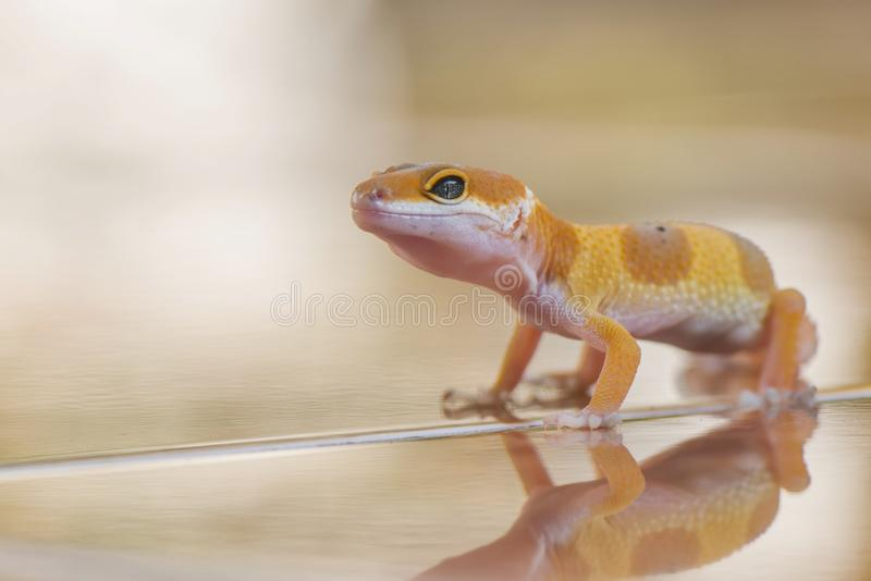 Little Orange Gecko. Gecko, animal, orange, indonesia, wild, pet, nopeople, eye, small, color, sunlight, close, angry royalty free stock image