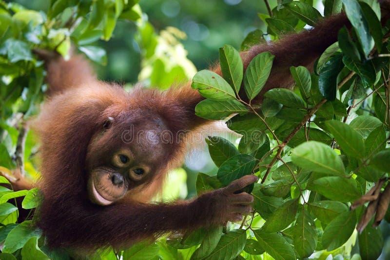 Little Orangutan on the tree. royalty free stock images