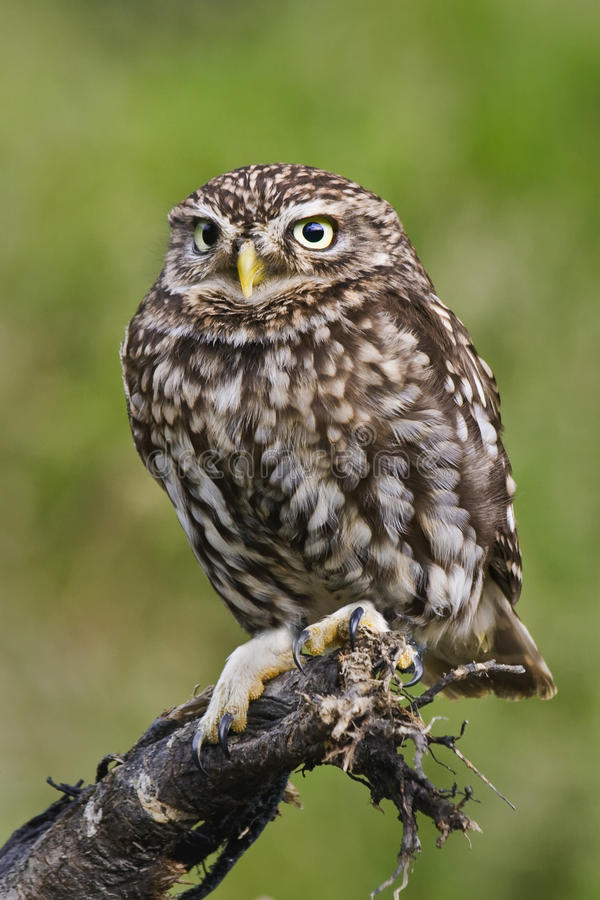 Download Little owl stock image. Image of little, birds, nature - 17656667