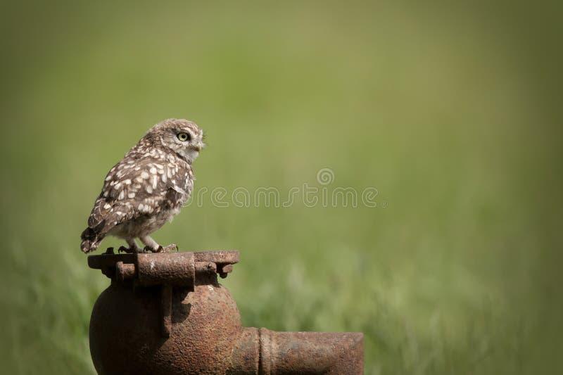Download Little Owl stock image. Image of animal, horizontal, prey - 25729633