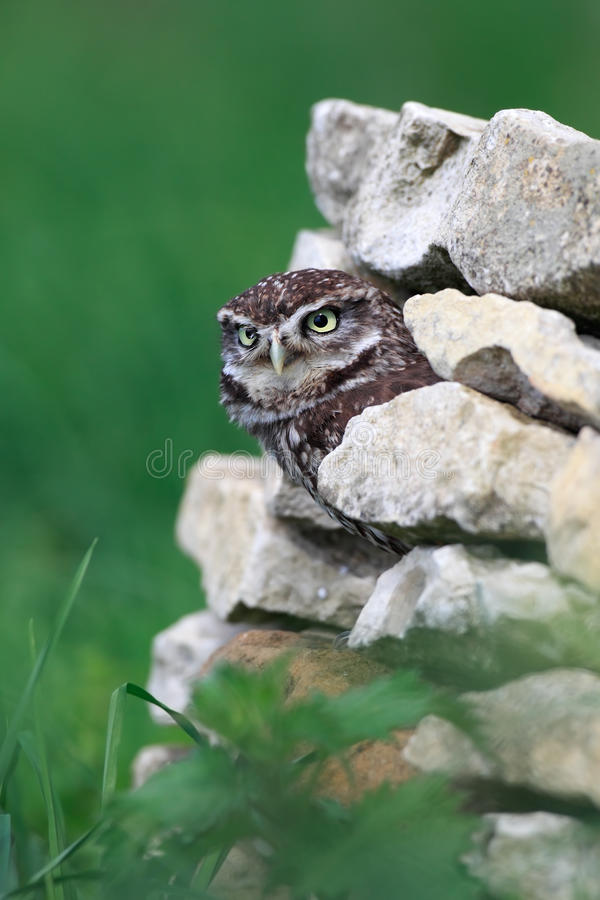 Download Little Owl stock photo. Image of surrey, stone, closeup - 28819048