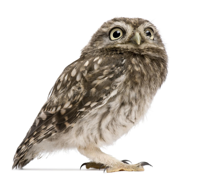 Little Owl, 50 days old, Athene noctua, standing royalty free stock photo