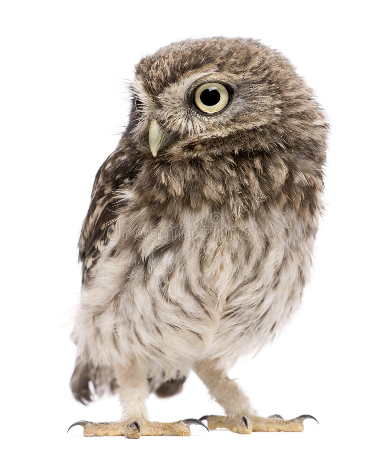 Little Owl, 50 days old, Athene noctua, standing. In front of a white background royalty free stock photography
