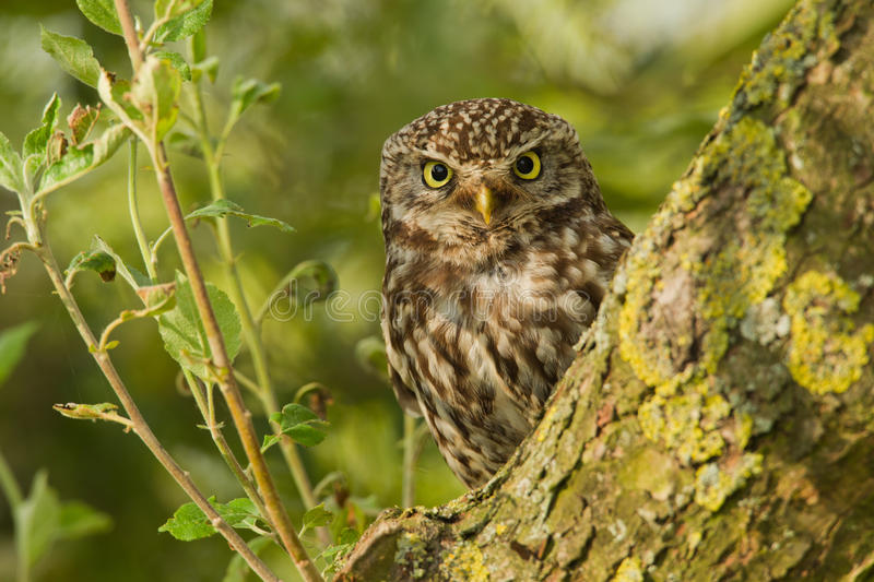Little Owl in an apple tree stock images