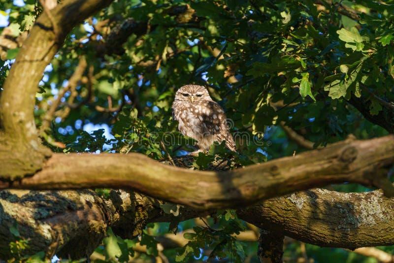 Little Owl & x28;Athene nocipa& x29; omgiven av blad i ett träd, taget i Förenade kungariket royaltyfria foton
